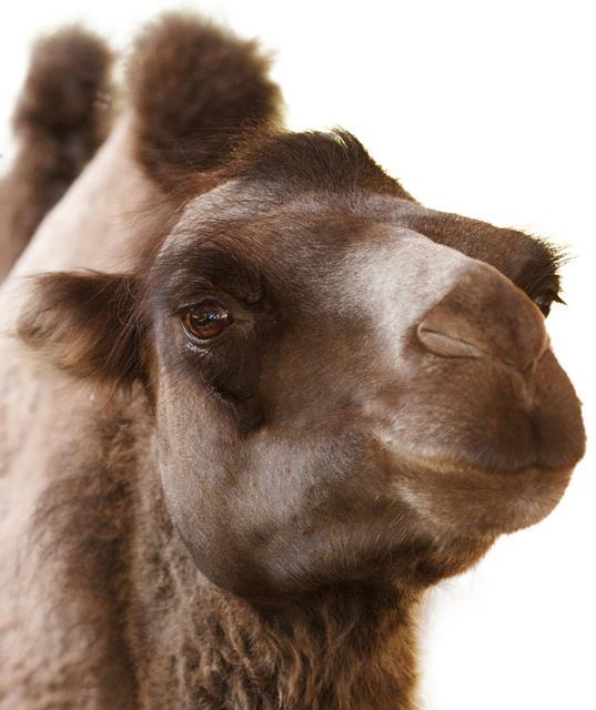 Kamel Persisch lernen